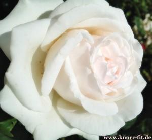 2014-05-28 Rose Blog 1